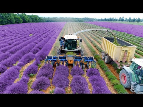 Lavender Harvest & Oil Distillation | Valensole - Provence -