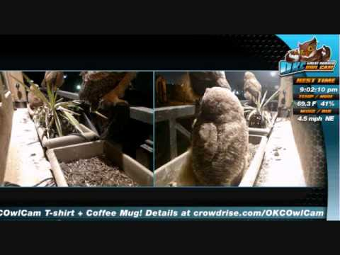 OKC Owl Cam: Mrs T arrive's to feed the Owlet's,Caspian eat's to big a bite March 28, 2015