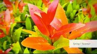 Photinia (Red Robin)  Information and Advice