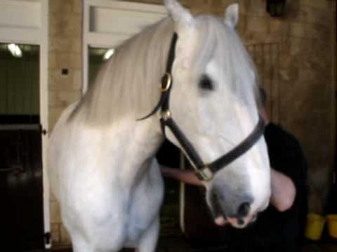 Samuel Smith dapple-grey shire horses. - YouTube