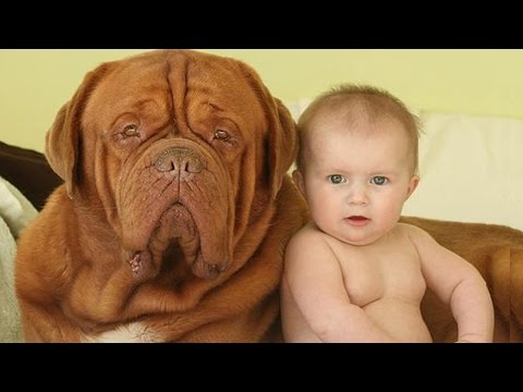 Dogue de Bordeaux And Baby A beginning of love  – Dog loves Baby Compilation