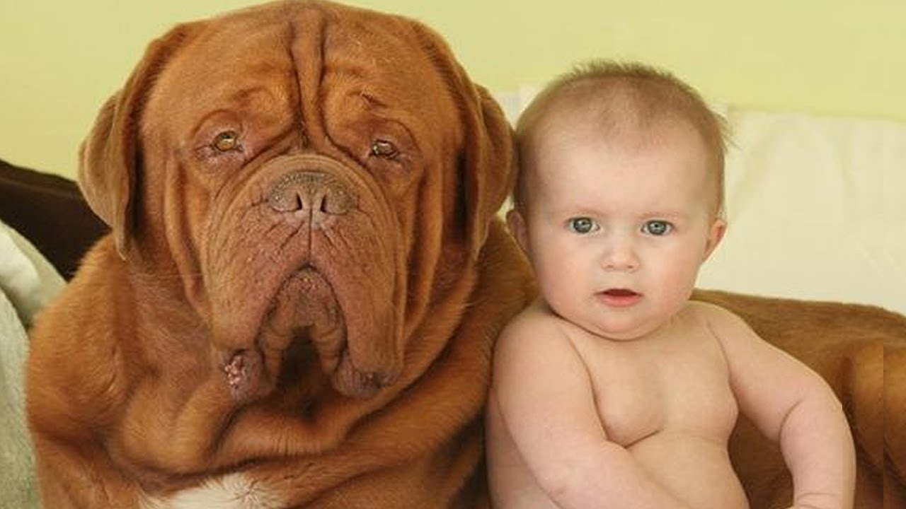 Dogue De Bordeaux And Baby A Beginning Of Love Dog Loves Baby Compilation Youtube