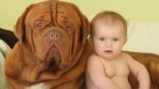 Dogue de Bordeaux And Baby A beginning of love   Dog loves Baby Compilation