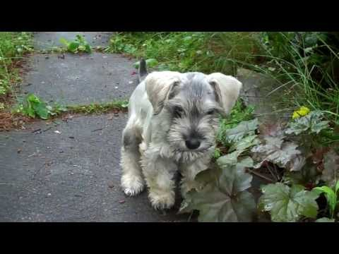 Monty The Miniature Schnoodle