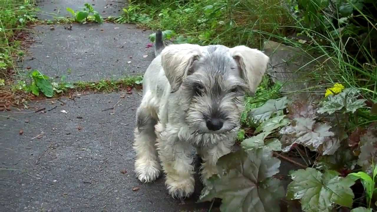 Monty The Miniature Schnoodle You