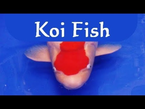 【Amazing All Japan Koi Show】Best koi fish of the world ...