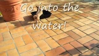 How To Train Your Dog, Not To Be Scared Of Water! Presented By Spike Chihuahua!