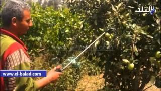بالفيديو والصور..'صدى البلد' يرصد كارثة رش الفاكهة والخضروات بالهرمونات ومحفزات النمو بنسب غير آمنة