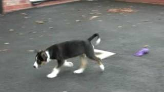 Ziggy: Cheshire Police's Latest Police Dog Recruit - Video 1