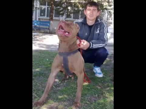 Pitbull Romania Rednose