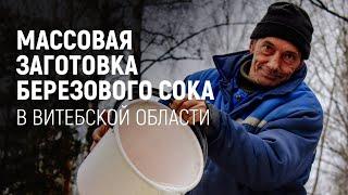 Массовая заготовка березового сока в Витебской области