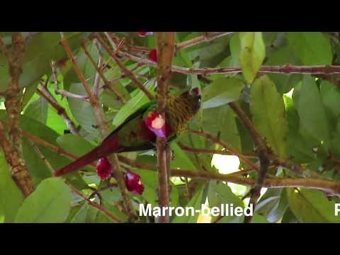 Pyrrhura frontalis – Marron-bellied Parakeet – Tiriba