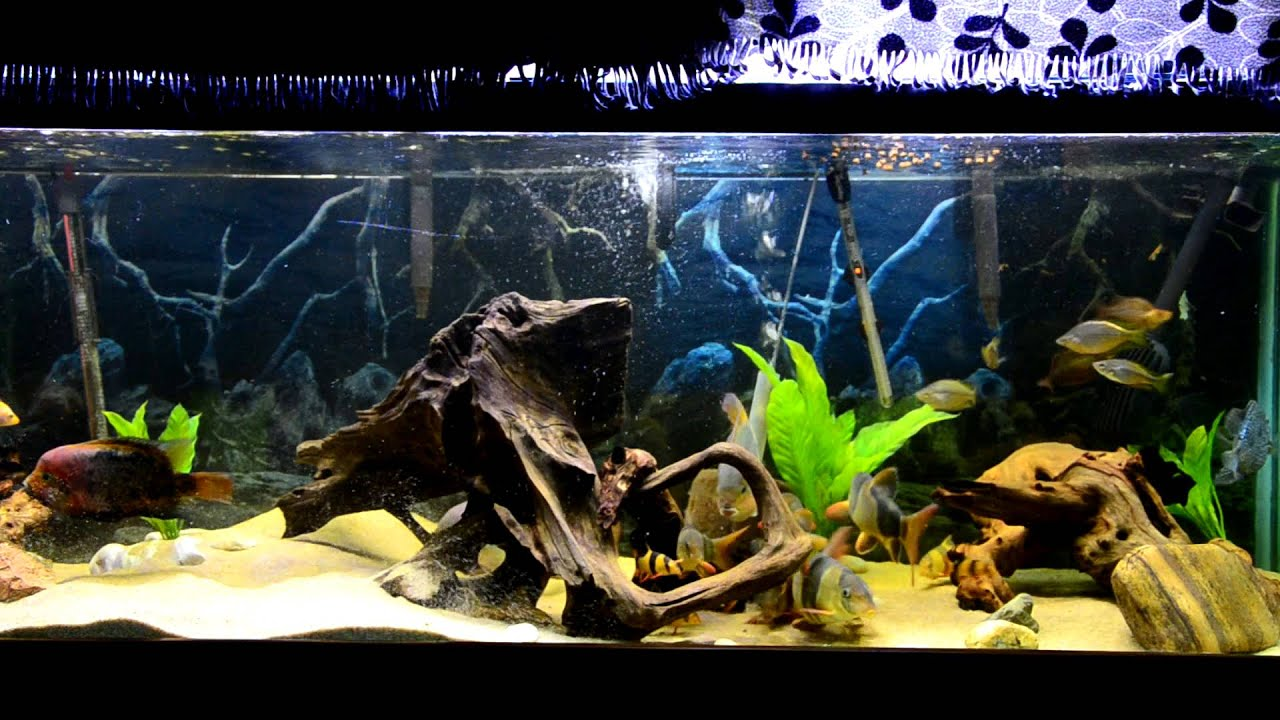 Freshwater aquarium fish loach - 180 Gallon Aquarium Feeding With 10 Clown Loach And Friends