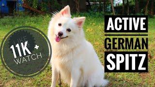 ACTIVE GERMAN SPITZ DOG
