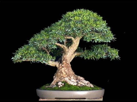 Podocarpus Bonsai Tree Care Guide Youtube