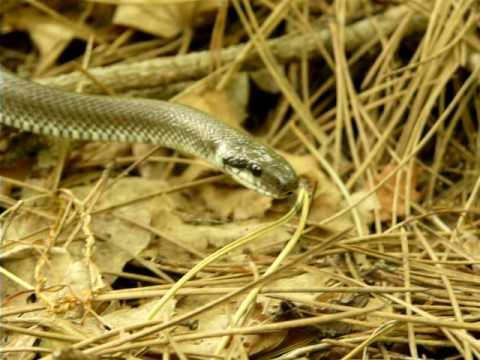 Zamenis longissimus (Laurenti, 1768): Sarpele lui Esculap - Aesculapian snake - Erdei siklo