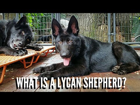 What Is A Lycan Shepherd?