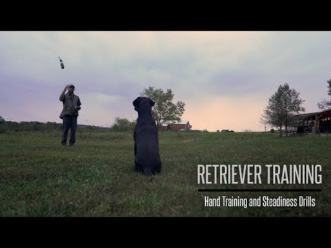 Formal Hand Training And Steadiness With Your Gundog - Hunting Dog Training