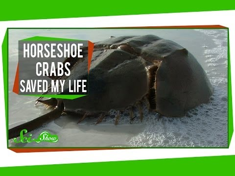 Horseshoe Crabs Saved My Life