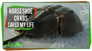 Repeat youtube video Horseshoe Crabs Saved My Life