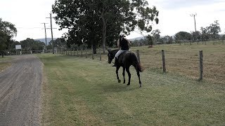 BLACKIE OUT ON ROAD RIDE BAREBACK HALTER AND LEAD