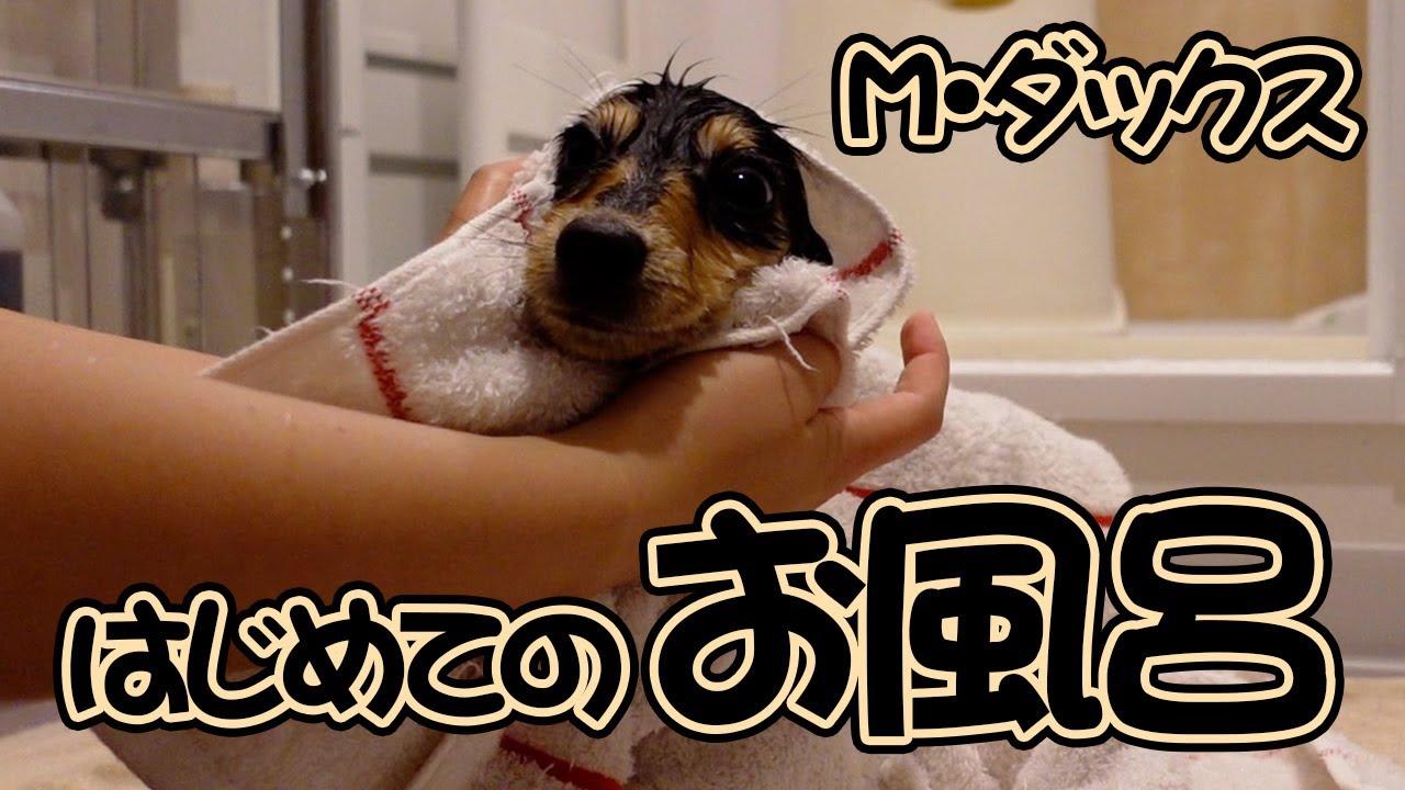 ミニチュアダックス子犬を初めてお風呂に入れてみた