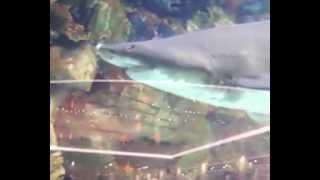 Жесть! Акулы в Киеве. Океанариум в Ocean Plaza. м. Либідська.(Самый большой в Восточной Европе аквариум объёмом более 350 000 литров. В нём будут обитать более 1 000 рыб и..., 2012-12-16T06:23:53.000Z)