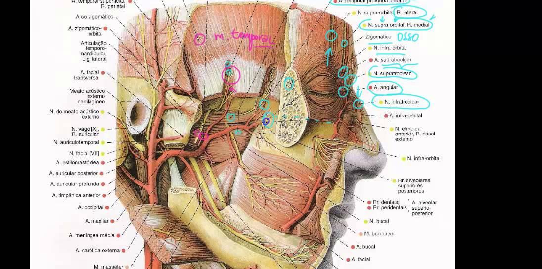 E face, cabeça pescoço da e veias artérias