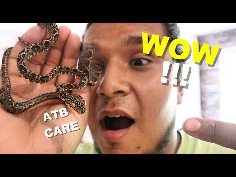 How To Care For A Amazon Tree Boa | Feeding My Arboreal Snakes 🐍🐍🐍