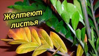 Почему желтеют листья у долларового дерева? Что делать, как спасти Замиокулькас?