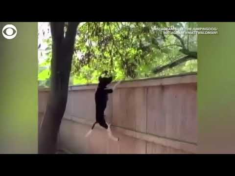 Video Extra: Dog jumping on fence