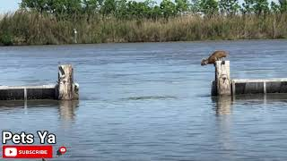 Wild Bobcat Makes This Huge Leap Over The River Seem Effortless And The Video Goes Viral