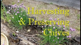 Harvesting & Preserving Chives