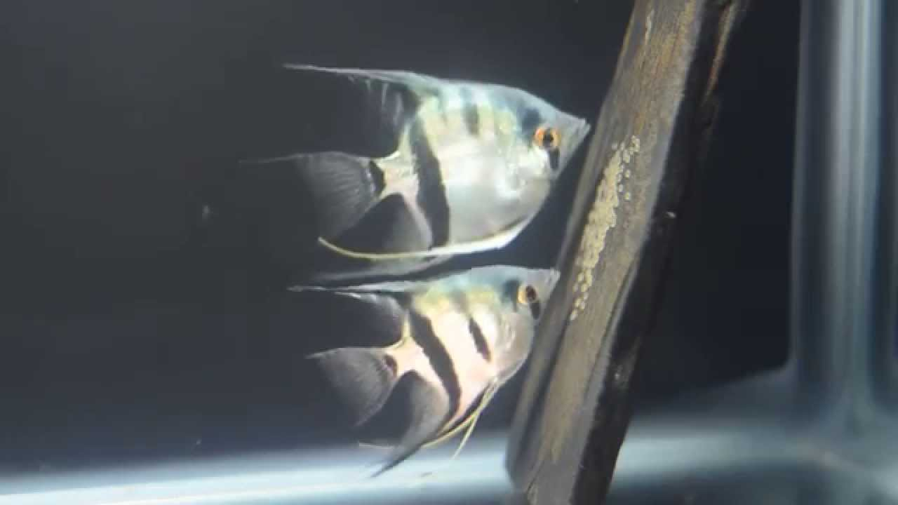 Freshwater aquarium fish for sale philippines - Philippine Blue Silver Angelfish Breeding Pair 1st Spawn For Sale Youtube