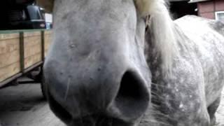 Chronische Bronchitis bei Pferden, Dämpfigkeit Pferde