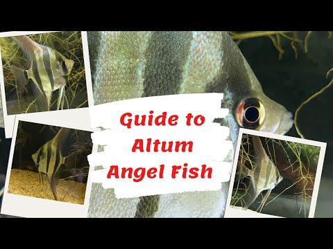 Guide To Altum Angel Fish Pterophyllum Altum