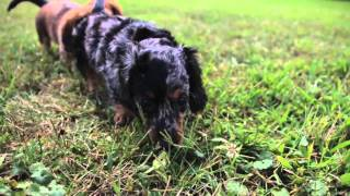 Aca/long Haired Dachshund | Sassy-toot-spot