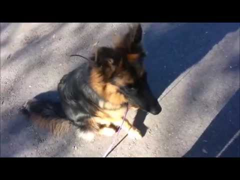 Jumping, Barking, Wild GSD Learns Off-Leash Obedience and Manners- Take the Lead K9 Training