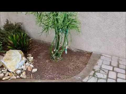 Firestick Plant Warning Euphorbia Tirucalli