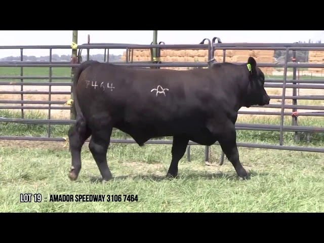 Mid Valley Bull Sale Lot 19