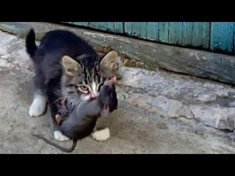 Крысолов котёнок ловит крысу . Мгновенная реакция котёнка.