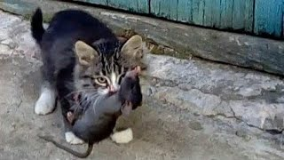 Pied Piper kitten catches a rat . Instant reaction of a kitten.
