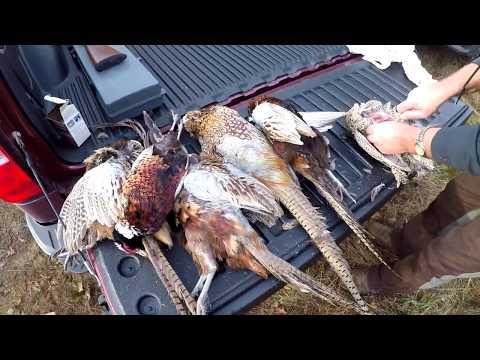 Pheasant Hunting - Hunt #4 (Hunting VLOG)