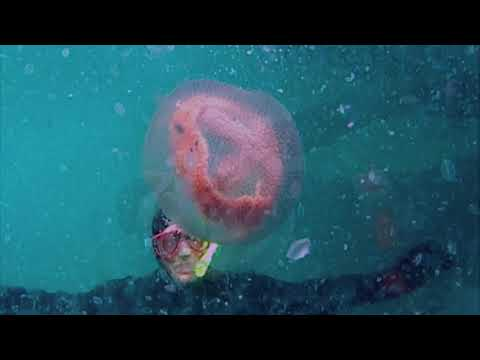 A Jelly Fish Story .Floating Around In Portphillip Bay.