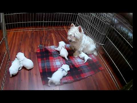 West Highland White Terrier Robin's Pups 2 Wks Old