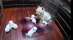 West Highland White Terrier Robin's pups 2 Wks Old