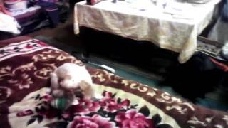 Собака моя танцует род песню