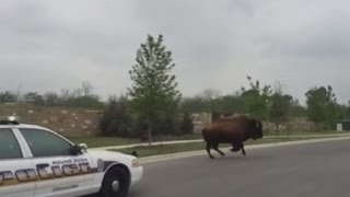 Watch: Texas Police Chase Bison On The Loose