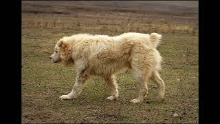საქართველოს მუშა ძაღლები georgian working dogs рабочие собаки Грузии