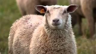 El gaouli - Petit mouton